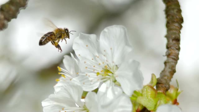 stockvideo's en b-roll-footage met slo mo td honingbij landing op een witte bloesem van een kersenboom in zon - honingbij