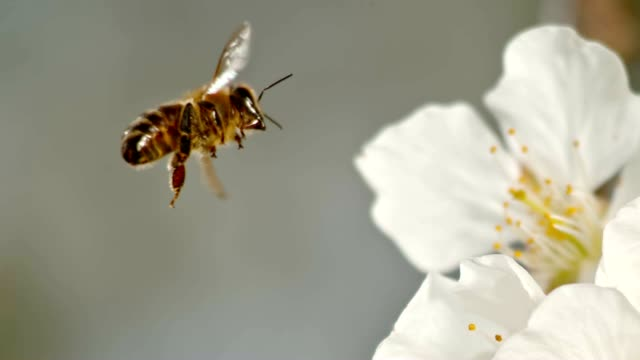 vídeos de stock e filmes b-roll de slo mo ts honey bee landing on a white blossom - abelha
