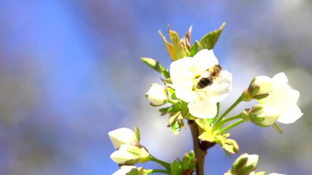 Honey bee on a cherry