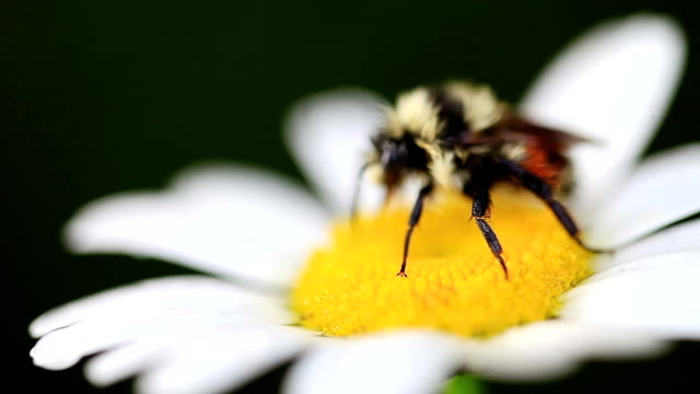 Honey Bee on a daisy flower collecting pollen