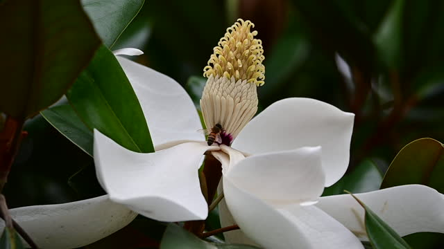 honey bee on a southern magnolia flower - stamen stock videos & royalty-free footage