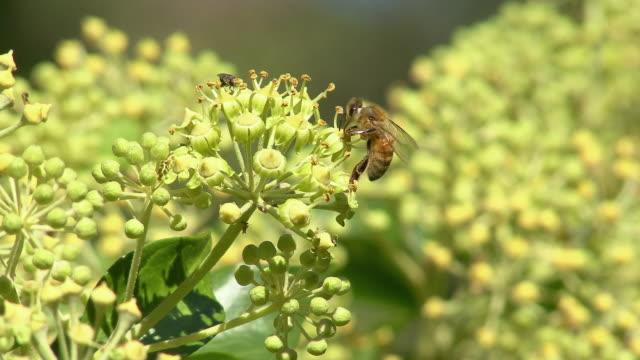 cu selective focus honey bee on flower stems, north plainfield, new jersey, usa - staubblatt stock-videos und b-roll-filmmaterial