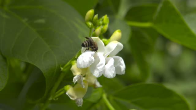 honey bee on flowering runner bean crop on farm, uk - runner bean stock videos & royalty-free footage