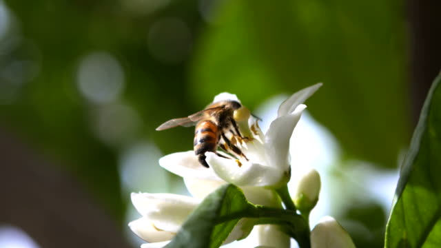 slow motion: honey bee on tangerine blossom - fruit tree stock videos & royalty-free footage