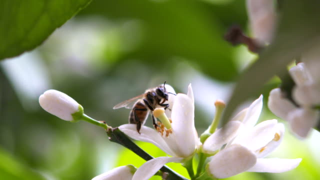 slow motion: honey bee on tangerine blossom - citrus fruit stock videos & royalty-free footage