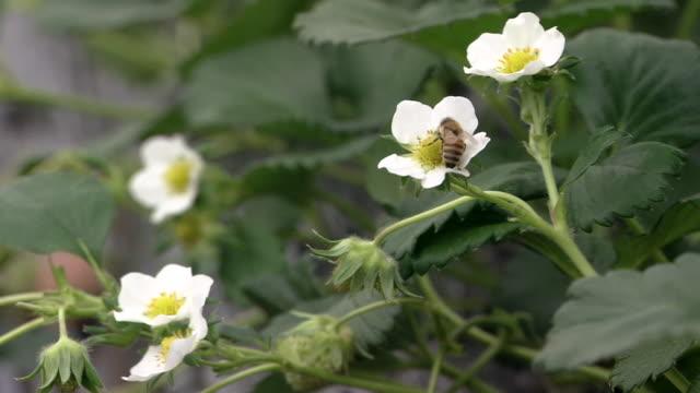 honey bee on the strawberry flower - グリーンハウス点の映像素材/bロール