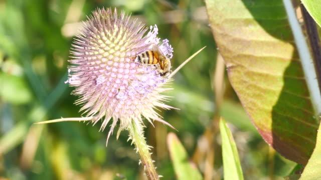 花の花粉のアザミの花にミツバチ - protection点の映像素材/bロール