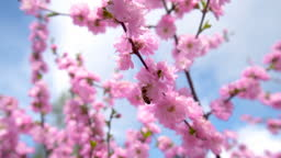 Honey bee pollinate pink flower of cherry Blossom tree.