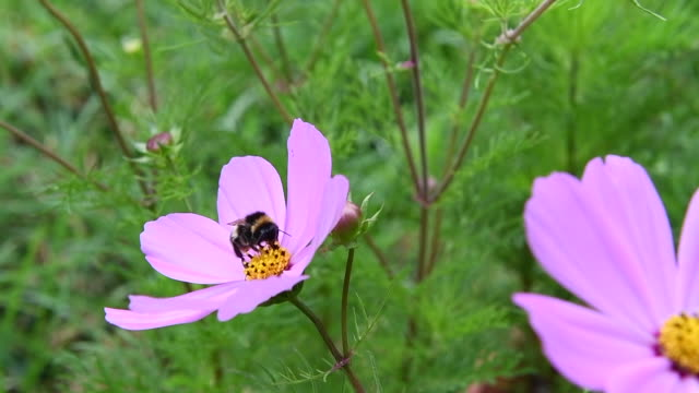 a honey bee pollinating a pink flower. - swaying stock videos & royalty-free footage