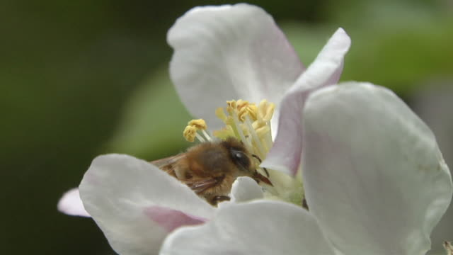vidéos et rushes de ecu honey bee pollinating apple blossom and flying away / michigan, usa - abeille