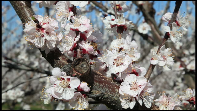 Honey bee pollinating peach (Prunus persica) tree blossom, close up, Ardeche, France