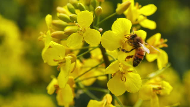 honey bee pollinating rape seed flower, close-up, slo-mo - stock video - yellow stock videos & royalty-free footage