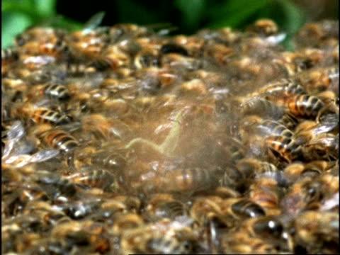 mcu honey bee (apis mellifera) swarm crawling across floor, england - ブンブン鳴る点の映像素材/bロール
