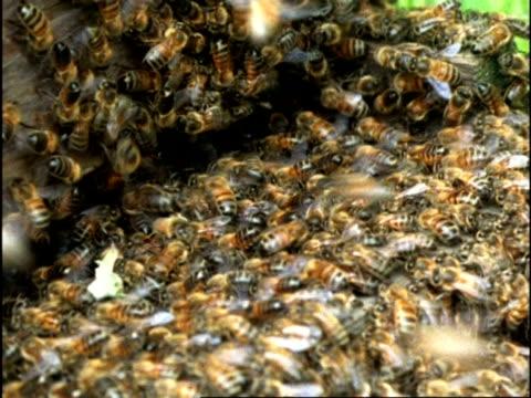 mcu honey bee (apis mellifera) swarm entering hive, england - ブンブン鳴る点の映像素材/bロール