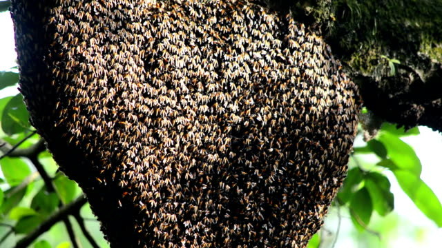 honey bee swarm in the tree - colony group of animals stock videos & royalty-free footage
