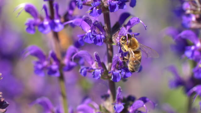 honey bee - lavender stock videos & royalty-free footage