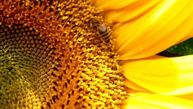 honey bee. - common sunflower stock videos & royalty-free footage