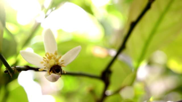 シリーズ: honey bee 外来のレモンの花 - かんきつ類点の映像素材/bロール