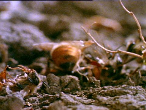 vídeos y material grabado en eventos de stock de honey bee wokers stinging larger body drone as he walks on ground dead bee bodies on ground near walking dying drone - dead animal