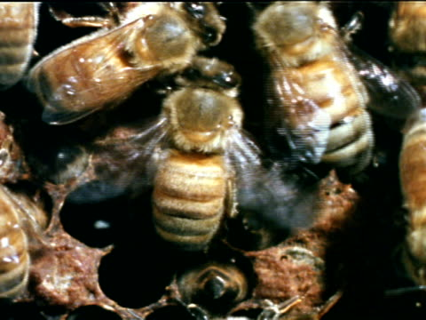 vídeos de stock, filmes e b-roll de honey bee workers fanning wings over open cells w/ bees in cells cu honey bee workers standing at entrance of hive rapidly fanning wings cooling - abelha obreira