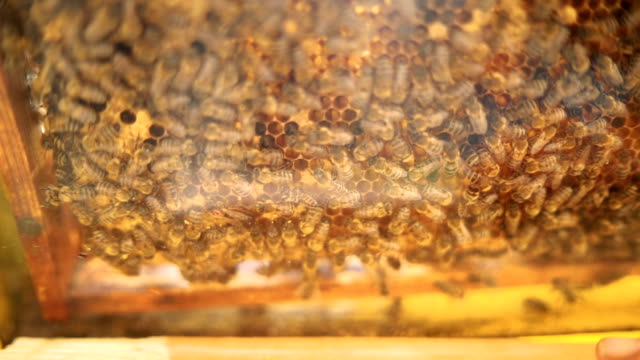 Honey bees and queen bee on honeycomb with pollen