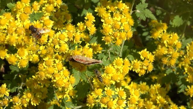 vídeos y material grabado en eventos de stock de honey bees and vanessa indica (indian red admiral) sitting on chrysanthemum boreale - protección de fauna salvaje