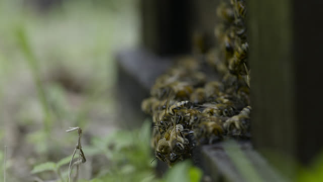 honey bees arrive at hive, japan. - colony stock videos & royalty-free footage