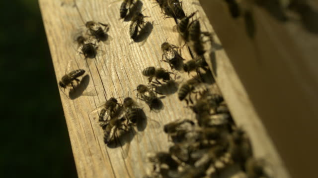 honey bees (apis sp.) at entrance to wooden hive, medium close up - animal markings stock videos & royalty-free footage