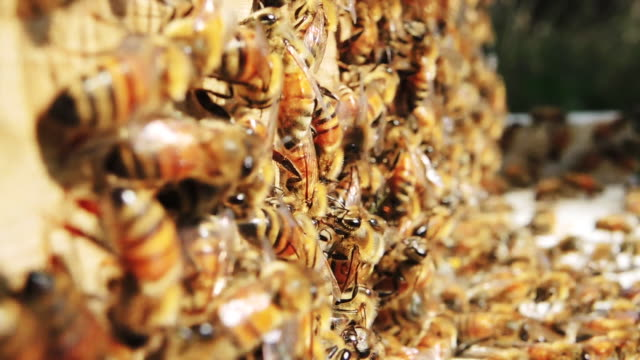 Honey bees at hive, close up