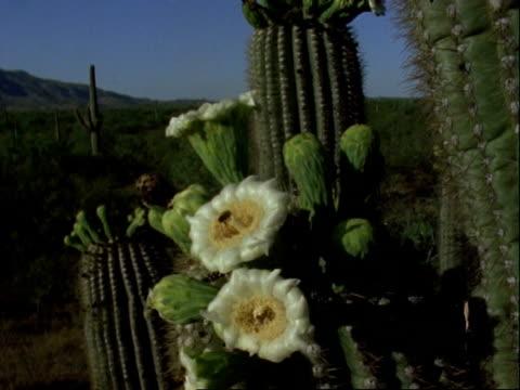 honey bees at saguaro cactus flowers wa, usa - ブンブン鳴る点の映像素材/bロール