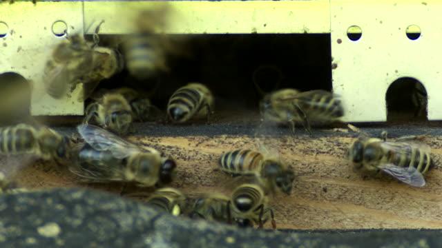 Honey Bees At The Beehive Macro Shot