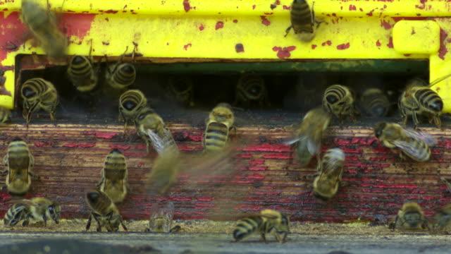 Honey Bees At The Beehive Macro (Loopable)