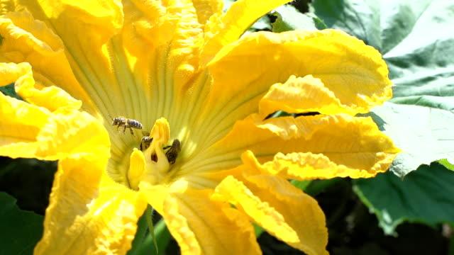 slo mo ハチミツを用いた回収花粉 - カボチャ点の映像素材/bロール