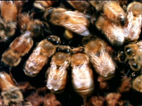 vídeos de stock, filmes e b-roll de honey bees covering comb of hive zi xcu bee dancing shaking abdomen rapidly other bees following dancer food directional communication ms bee dancing... - abelha obreira