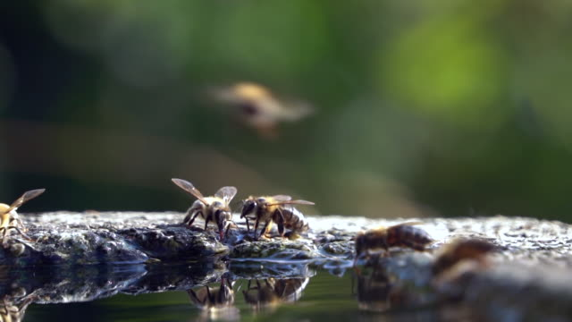 Honey bees drinking water - slow motion