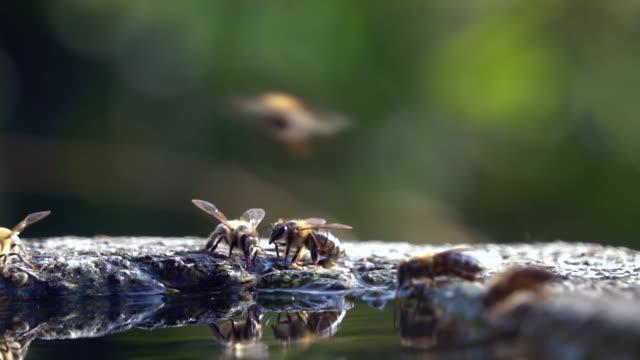 stockvideo's en b-roll-footage met honing bijen drinkwater - slow motion - zeitlupe