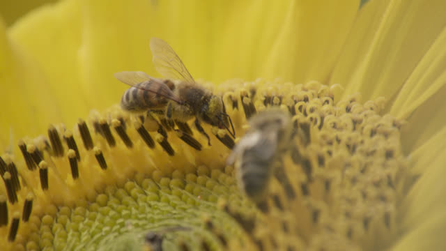 vídeos de stock, filmes e b-roll de honey bees (apis mellifera) feed on sunflower (helianthus) in field, worcestershire, england - abelha