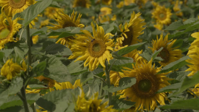 honey bees (apis mellifera) feed on sunflowers (helianthus) in field, worcestershire, england - 受粉点の映像素材/bロール