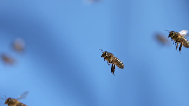 vidéos et rushes de ms slo mo honey bees flying in air / vieux pont, normandy, france - abeille