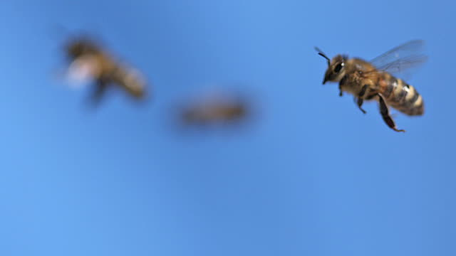CU SLO MO Honey bees flying in air / Vieux Pont, Normandy, France