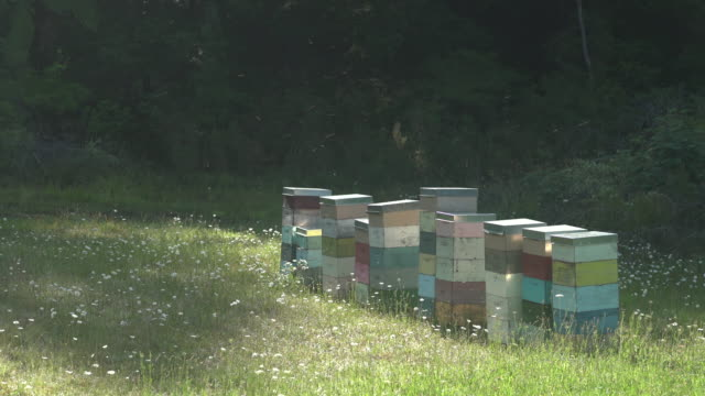stockvideo's en b-roll-footage met honey bees flying in and out of multi-coloured beehives in a wild flower meadow - idyllisch