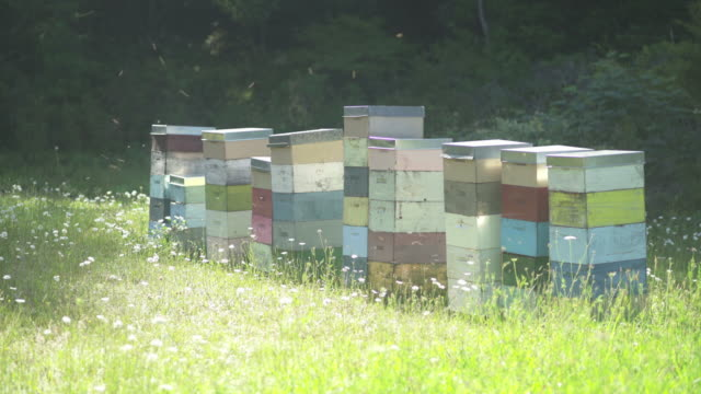 honey bees flying in and out of multi-coloured beehives in a wild flower meadow - idyllic stock videos & royalty-free footage