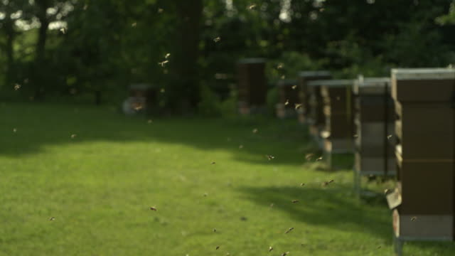 vidéos et rushes de honey bees (apis sp.) flying in foreground, hives in background - ruche