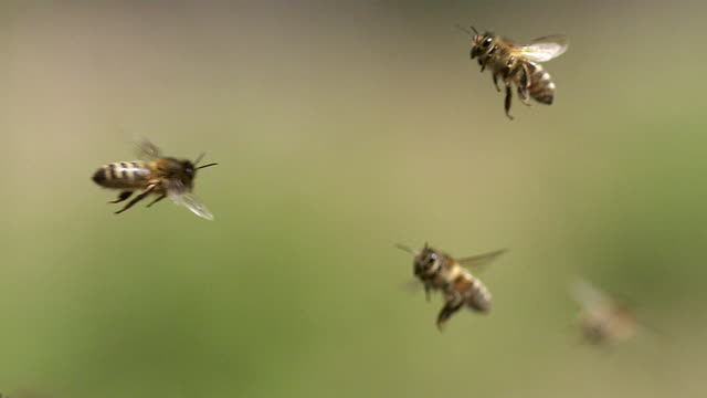vídeos de stock, filmes e b-roll de ms slo mo honey bees flying / vieux pont, normandy, france - abelha