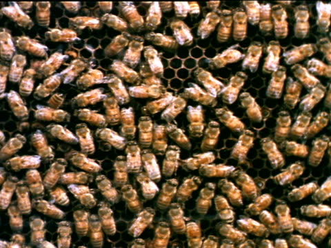 vídeos de stock, filmes e b-roll de honey bees in hive walking on over comb pan many worker bees clustered together working on comb busy working work crowded team work - abelha obreira