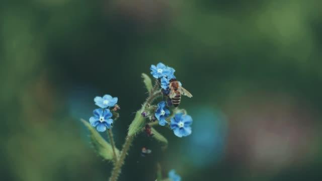 honey bees in slow motion (hd) - ワスレナグサ点の映像素材/bロール