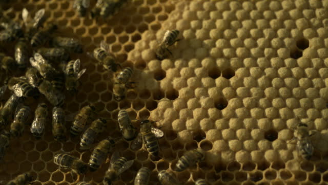 honey bees (apis sp.) on comb - animal markings stock videos & royalty-free footage
