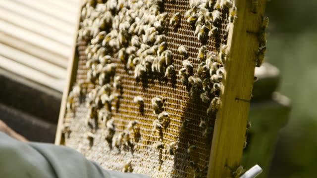 vídeos de stock e filmes b-roll de honey bees on frame of hive, japan. - grupo mediano de animales
