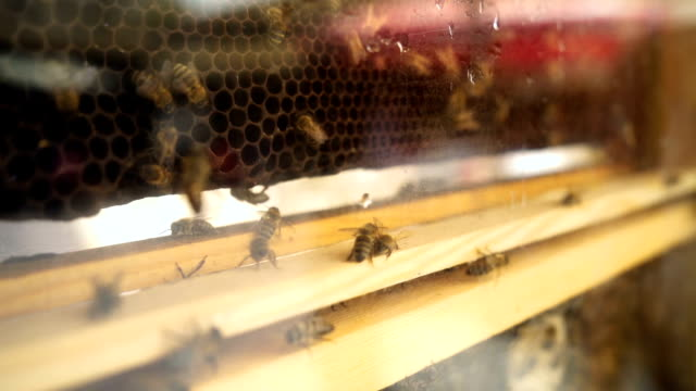 Honey bees on honeycomb with pollen