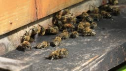 Honey bees on the home apiary. Worker bees. The bees bring honey,